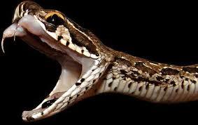 morso-serpente-velenoso